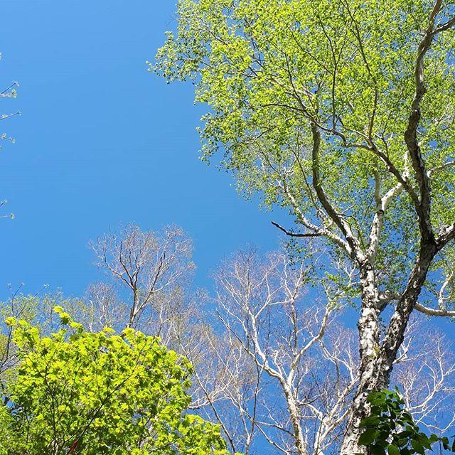たまには上を見上げてみよう*ふだんみえてないものが見えるかも‥🤭🤭三枚目にはキセルガイを発見*毎年下の方で姿をみせてくれるブナの木の上を見たら今年も会えました‥🤗🤗***#いんすたばえ#ハイキング#ハイキング女子#発見#自然#トレッキング#山登り#登山#山歩き#アウトドア#風景#尾瀬#百名山#至仏山#燧ヶ岳#青空#温泉#旅行#素朴#新緑