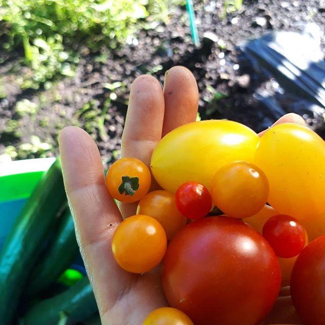 毎日暑い日が続いております*夏休み中は毎日子供のラジオ体操今日は時間もあったので歩いて行きました🤩*こちらの朝の気温20℃くらい*朝のうちは半袖では肌寒いです涼しいうちに野菜の収穫しないと‥*朝採り野菜は美味しいキュウリはしばらくは、毎日収穫しないとかな‥*今日も一日頑張りましょう(*˘︶˘*).。.:*♡***#発見#散歩#森#森林#山#自然#天然#温泉#温泉旅行 #旅行#素朴#シンプル#ナチュラル#尾瀬#尾瀬国立公園#高原野菜#ネイチャー#保存食#自家製#健康#和食ごはん #日本の食文化#発酵食品#保存食#季節の手仕事#体にやさしい#無農薬栽培#食育#旬の野菜